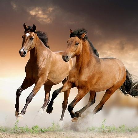 Atestat informatica Rase de cai
