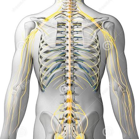 Atestat informatica Sistemul nervos